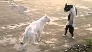 Heboooohhhh Video Lucu Kucing berantem dan jalan berdiri