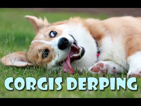 Corgis derping COMPILATION - funny cute dog fails and silly moments - YouTube