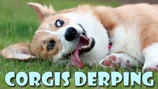 Corgis derping COMPILATION - funny cute dog fails and silly moments