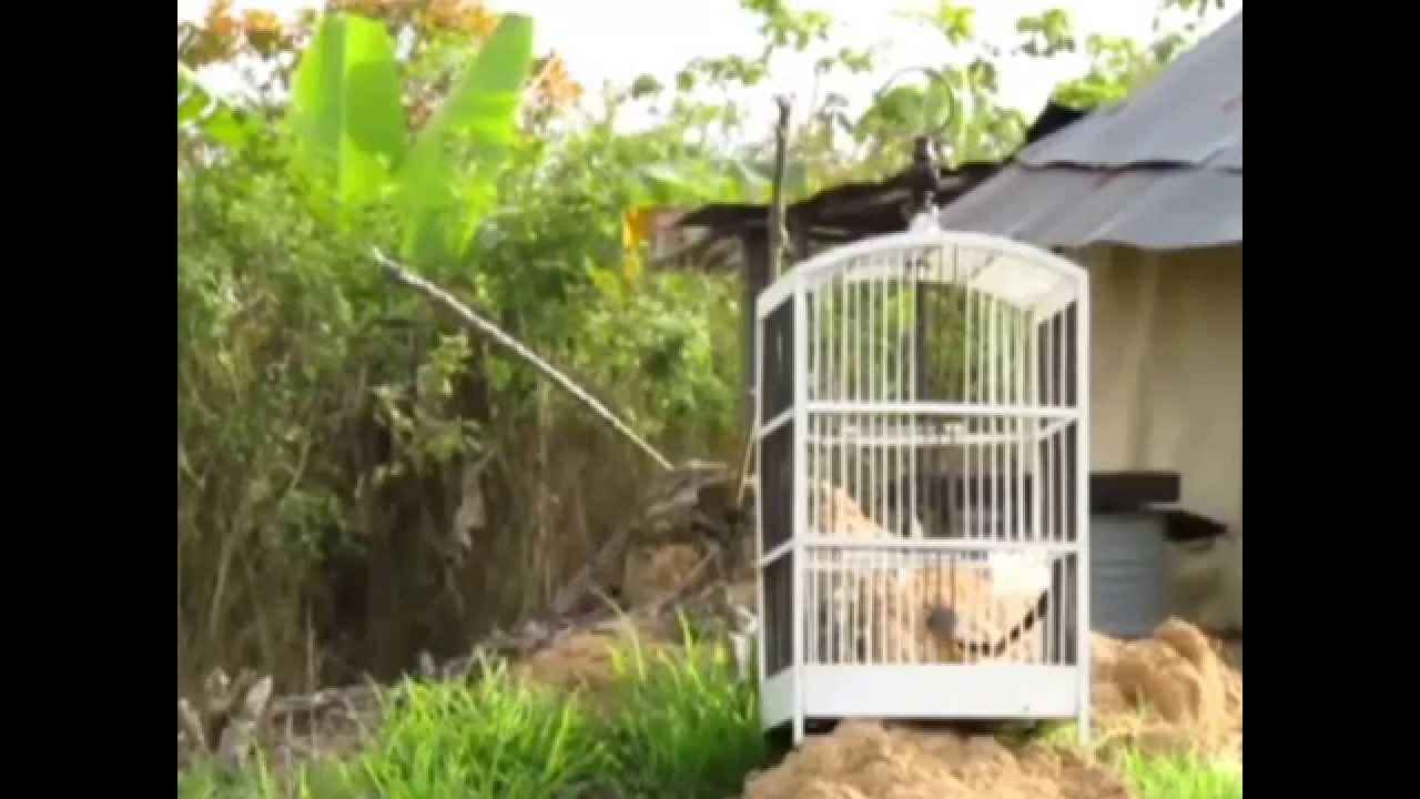 Cara Menangkap Burung Cendet Liar Lanius Schach Bird Trap Youtube