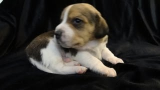 Cute Baby Pocket Beagles Tiny Beagle Puppies Learning To Walk Video For Sale