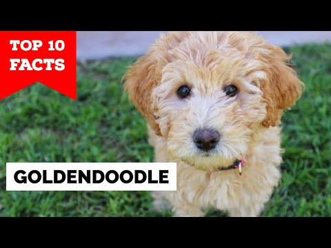 GoldenDoodle  Top 10 Facts