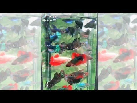 the-best-female-betta-sorority-tank-|-fish-tank-review-59