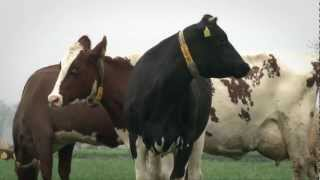 Norwegian Red x Holstein dairy cows on Rinze Haisme farm in the Netherlands.