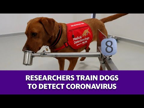 Researchers Train Dogs To Detect Coronavirus
