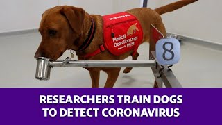 These dogs may help with the re-spread of coronavirus happening as they can smell for virus. #coronavirus #covid-19 #dogscoronavirus subscribe to yahoo f...