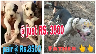 Pitbull puppies for sale at low price || jsk pets ||