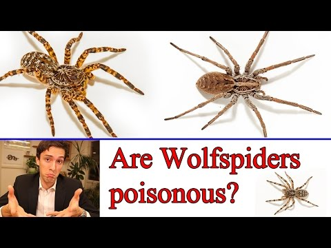 Are wolf spider poisonous