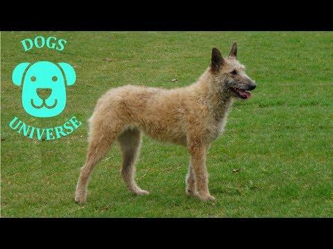 LAEKENOIS ► Characteristics and temperament 🐶
