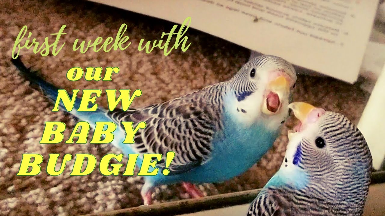 First Week with our NEW BABY BUDGIE!