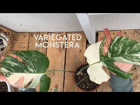 Repotting my Variegated Monstera