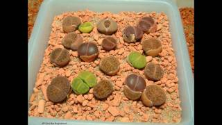 Lithops timelapse after watering