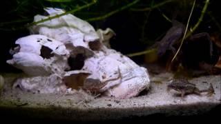 Aquaristik Lebendfutter Enchyträen züchten ; Wurmkiste selber machen