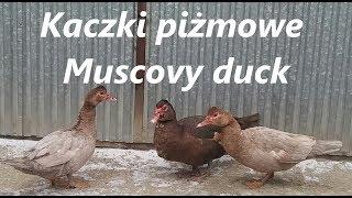 Stado kaczek piżmowych na 2018 rok / A herd of muscovy ducks for 2018