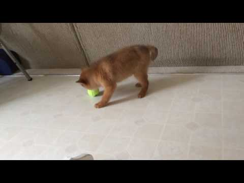 Hunter, a Finnish Spitz puppy, 9 weeks, 2014
