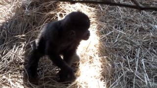 Repeat youtube video #04 Too Cute! Baby Gorilla(8 months old).かわいいゴリラの赤ちゃん(生後八ヶ月)。