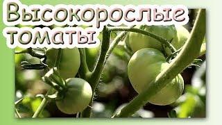 Высокорослые томаты выращивание и формирование. Обзор сортов. Томаты индиго. Помидоры