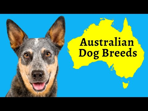 Australian Dog Breeds: 13 Native Dogs From Down Under