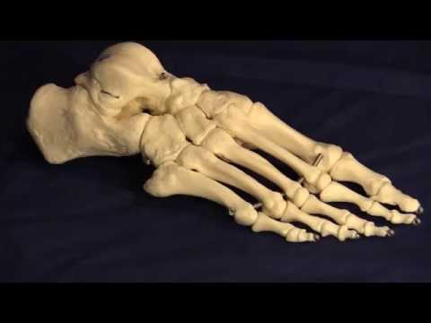 Anatomy of the Tarsal Bones