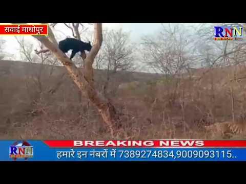 सवाई माधोपुर/पार्क में बाघ ने भालू पर किया हमला, अपनी जान बचाने पेड़ पर चढ़ा भालू...