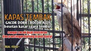 Gambar cover KAPAS TEMBAK Gacor Dorr sangat - cocok untuk masteran dan pancingan burung malas bunyi