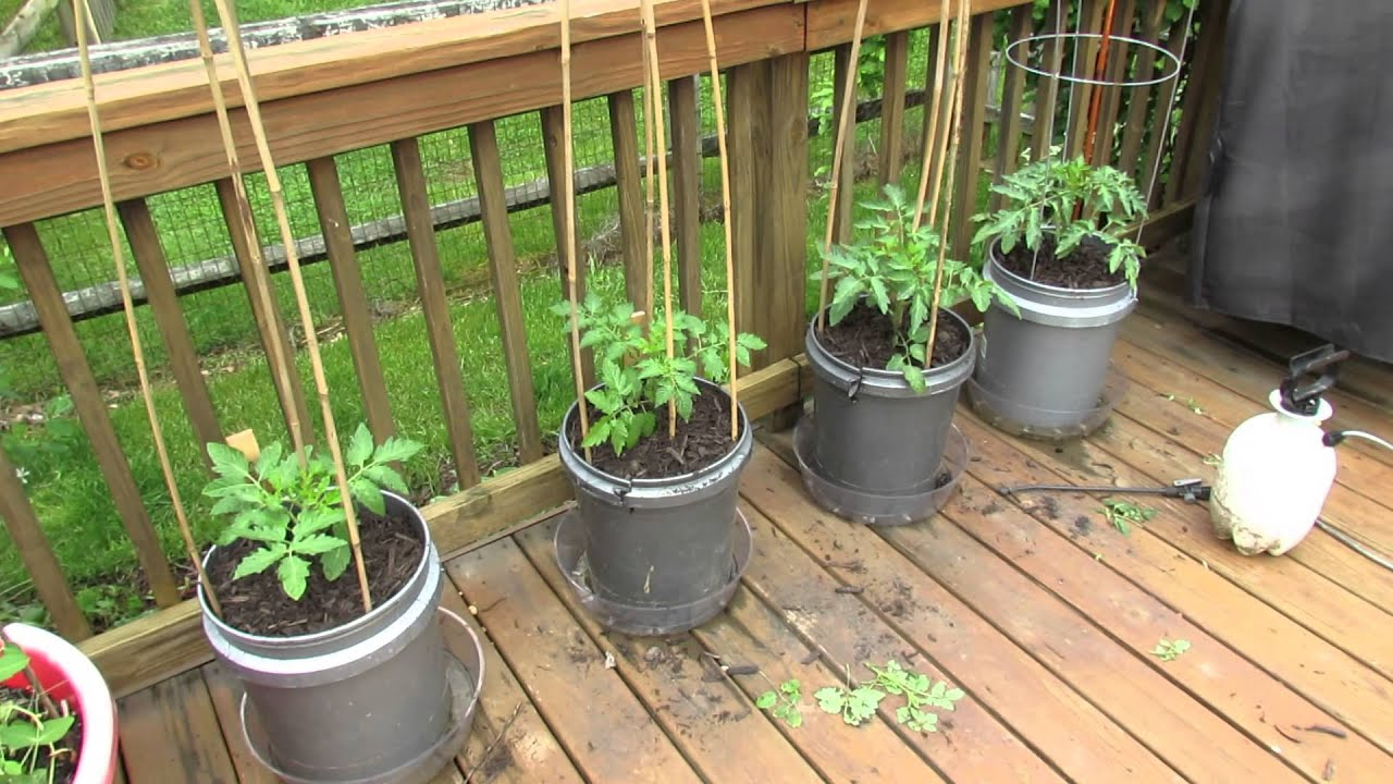 Staking Caging And Mulching Large Container Tomatoes The Rusted