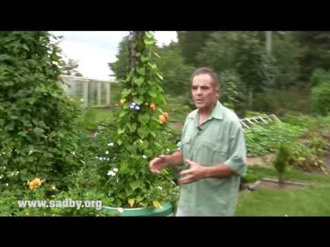 видео: Делаем пирамиду из фасоли: красивую и урожайную!