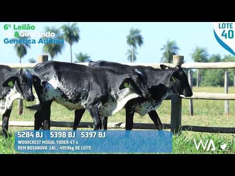 LOTE TRIPLO 40 - 5398 BJ / 5397 BJ / 5284 BJ - 6º Leilão Gir & Girolando Genética Aditiva