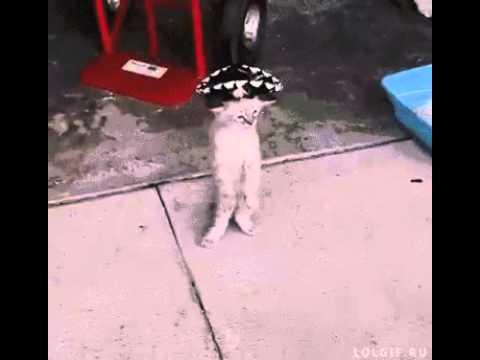 Гифка кот танцует в шляпе
