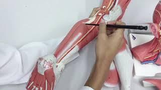Sóleo inserção origem do e anatomia da