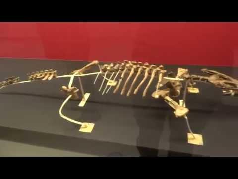 ネオコリストデラ類   Neochoristodera:「大恐竜展」ゴビ砂漠の驚異