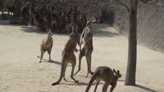 場所:ひびき動物ワールド 日差しの強い日で、ほとんどのカンガルーが日...
