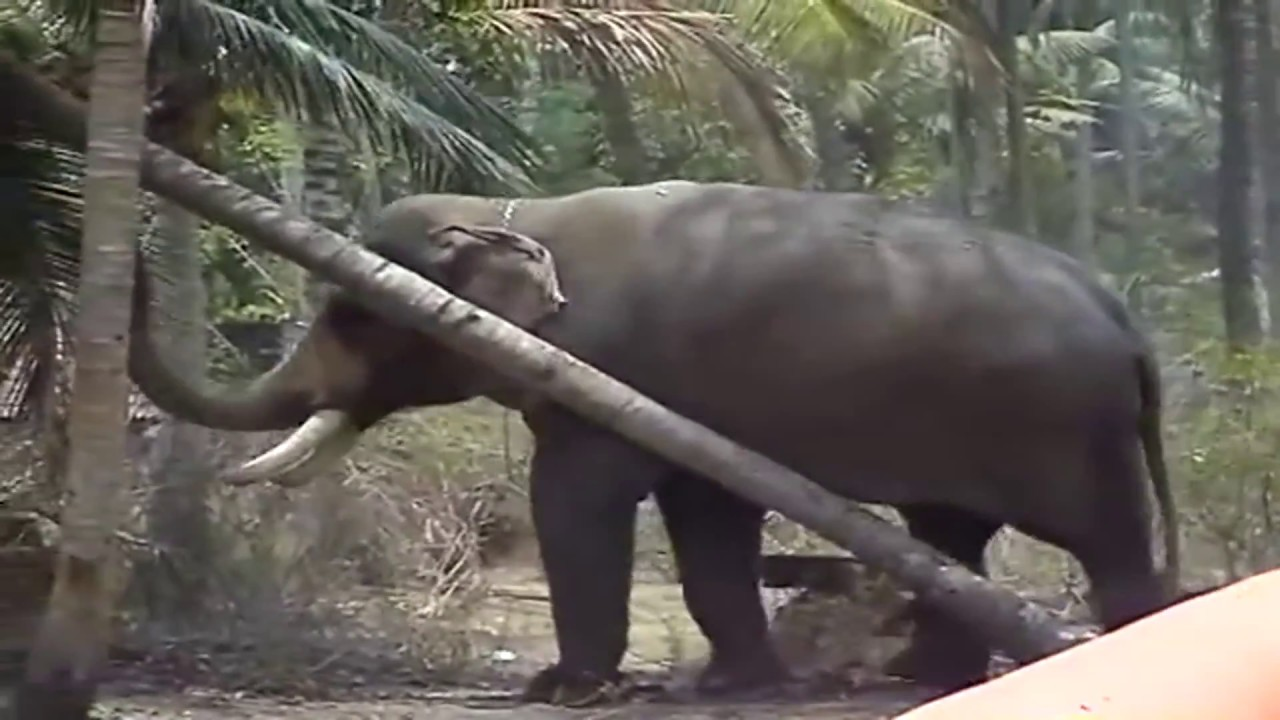 Angry Elephant Attack | Elephant vs Human | Wald Animal Attack