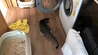 [콤콤이네] (고양이 복막염) 고양이 후지마비의 시작 (cat with FIP, Feline Infectious Peritonitis)