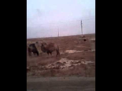 Дикие верблюды Казахстана