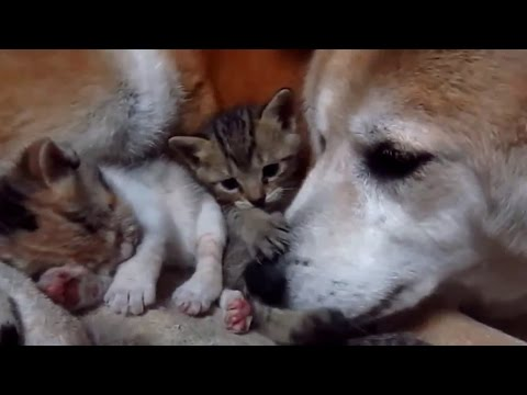 Kitten growing up with Dog | Mama Dog takes care kitten very emotional