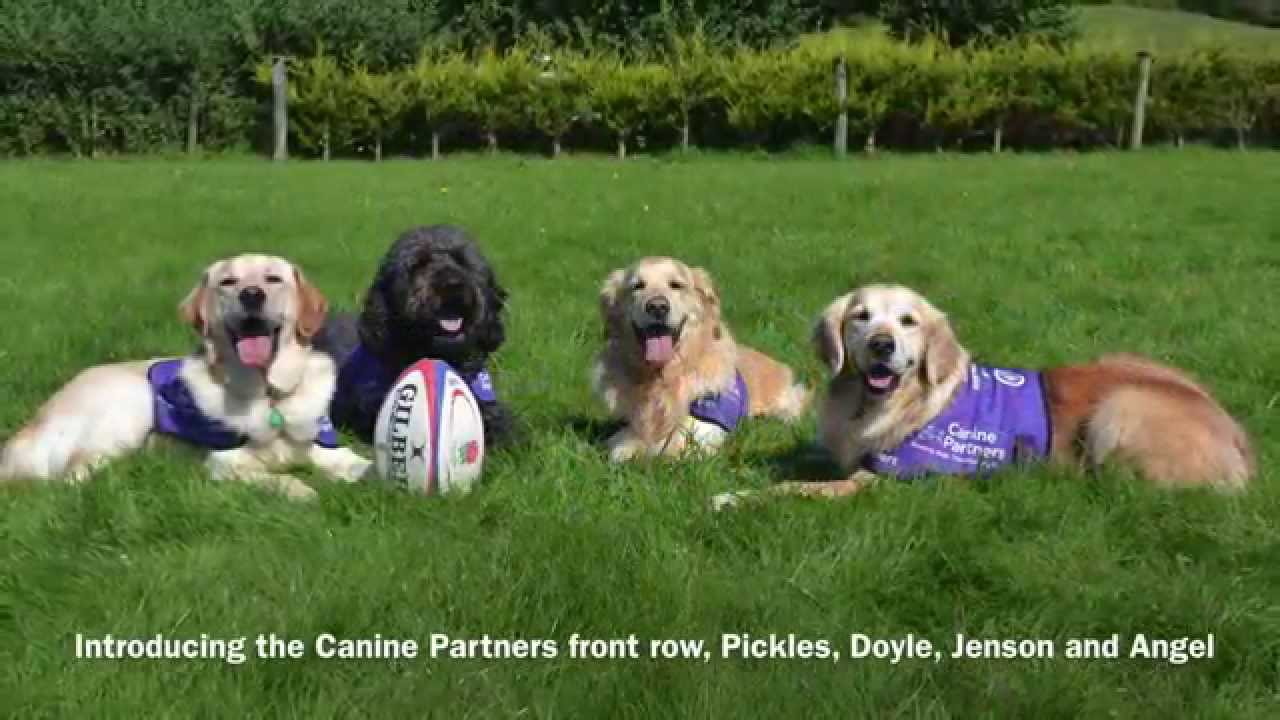 canine partners get ready for the rugby world cup canine