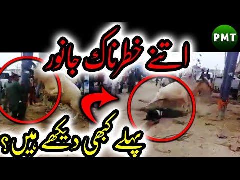 Bakra Eid Special Compilation of Most DANGEROUS Bulls for Qurbani at Eid ul Adha 2018 Bakra Eid 2018
