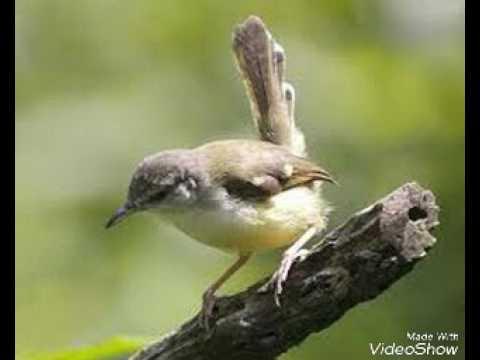 Download Lagu Suara Burung Ciblek Betina Memanggil Pejantan Untuk Pikat Dan Pancingan Ciblek Jantan Jemblek Betina