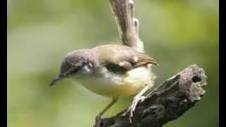 Suara Burung Ciblek Betina Memanggil Pejantan Untuk Pikat Dan Pancingan Ciblek Jantan Jemblek Betina