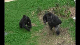 シャバーニ家族 211 Shabani family gorilla thumbnail