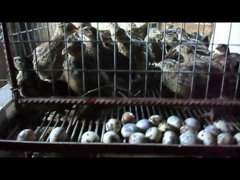 QUAIL FARM IN KERALA |...