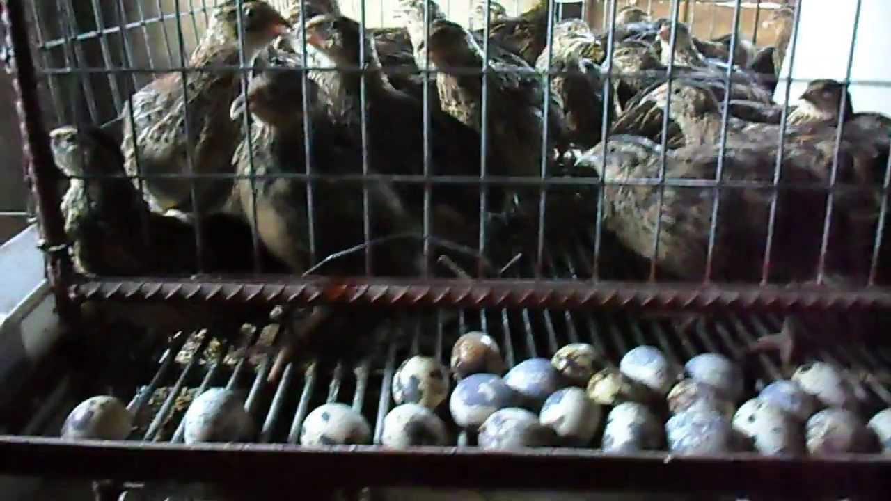 Quail Farm Warri Nigeria  YouTube