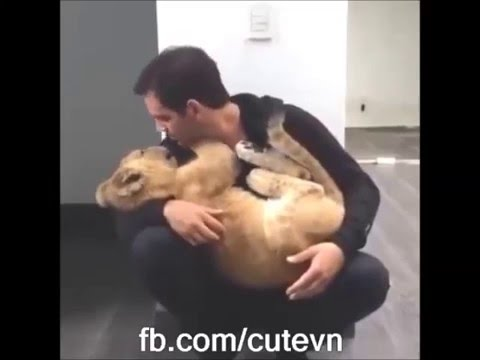Man & Baby Lions   Holding kisses and cuddles - Cute Lion Cubs