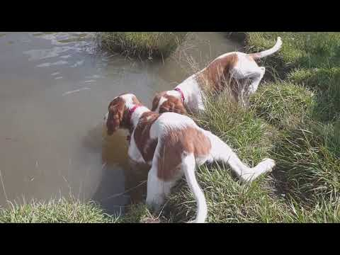 Free walk and swimming of Irish Red and White Setter puppies