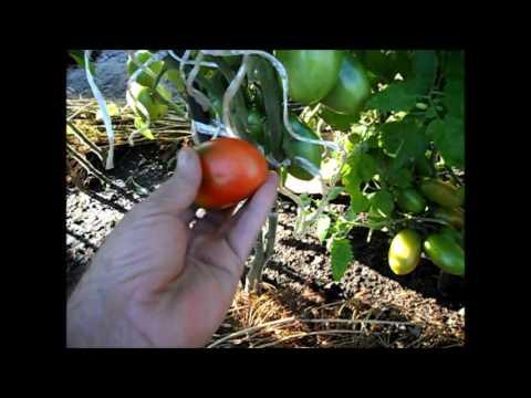 Сорт помидоров КНЯГИНЯ