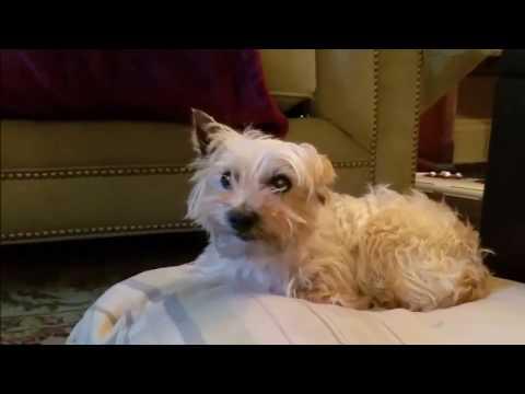 """Cairn Terrier Puppy mill survivor """"Sammie"""" is an inspiration - fostered in Illinois"""