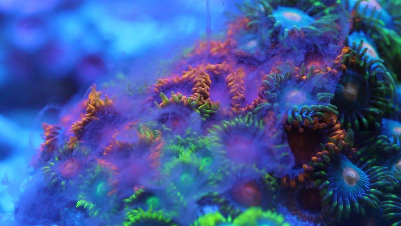 nyos u00ae instant plankton  earlier   u0026 39 reef pepper u0026 39   coral