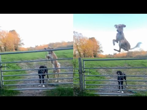 Dog Makes Incredible Jump Over Steel Gate