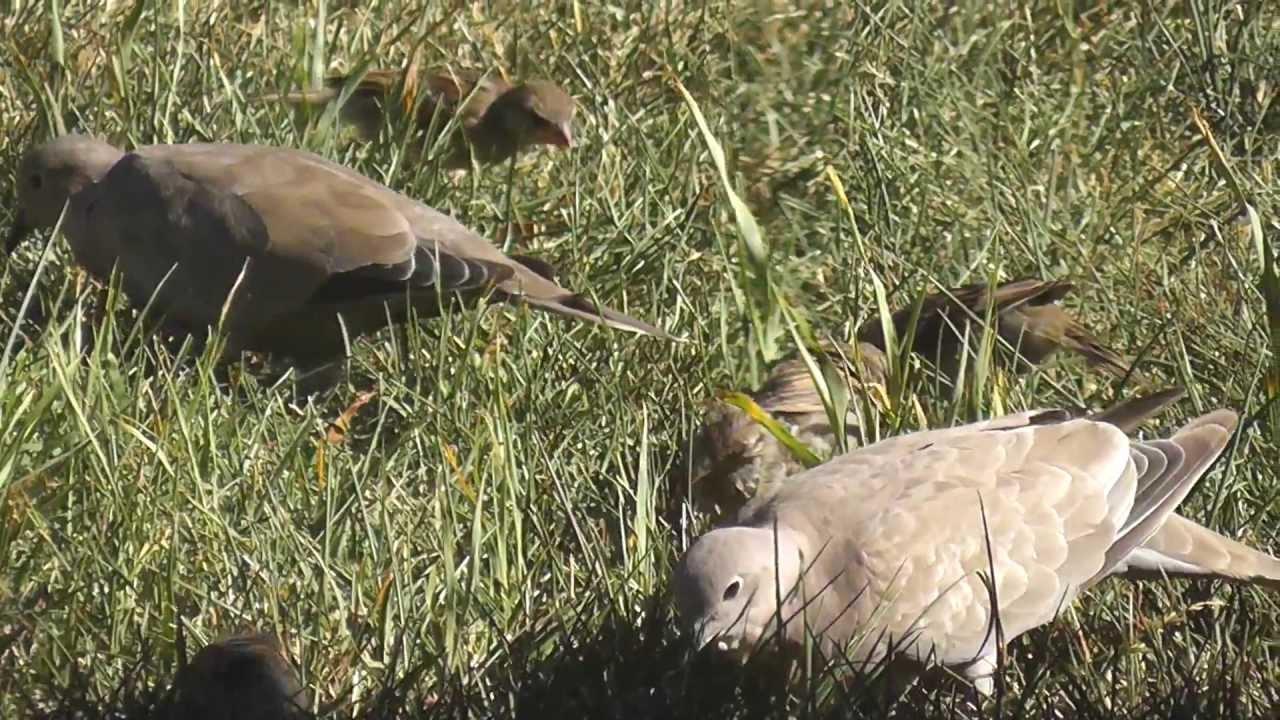 big flock of backyard birds house sparrow eurasian collared doves